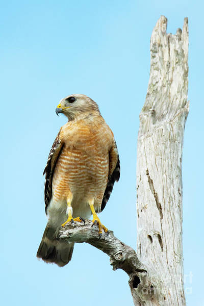 Photograph - Red-shouldered Hawk On Snag by Michael D Miller