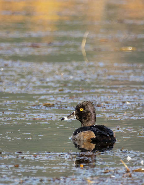Photograph - Ring Necked Duck by Michael Chatt