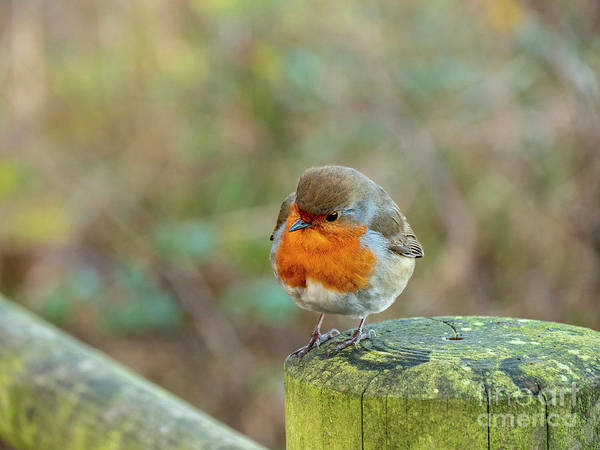Photograph - Robin by Jim Orr