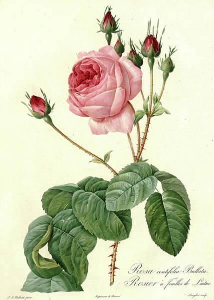 Wall Art - Painting - Les Roses, Rosa Centifolia Bullata by Pierre-Joseph Redoute