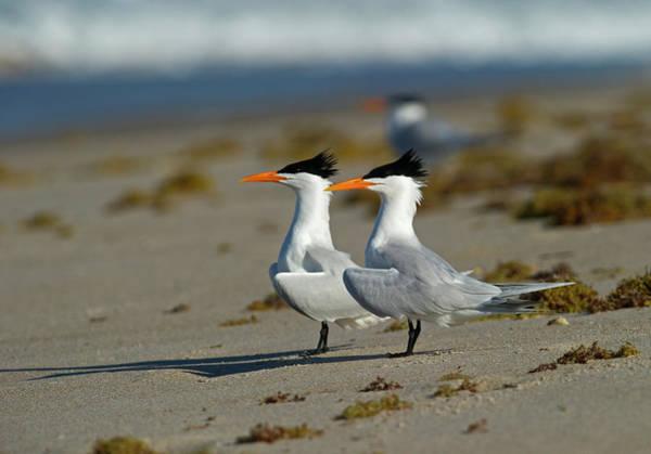 Wall Art - Photograph - Royal Terns by David Tipling