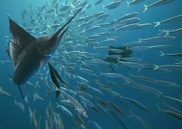 Wall Art - Photograph - Sailfish Hunting Round Sardinella, Isla by