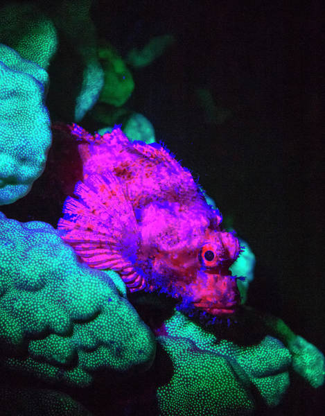 Night Dive Wall Art - Photograph - Scorpionfish, Dusk Fluorescing, Red by Stuart Westmorland