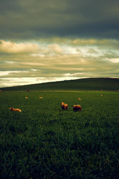 Photograph - Sheep by Rob D Imagery