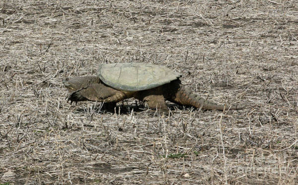Wall Art - Photograph - Snapping Turtle by Lori Tordsen