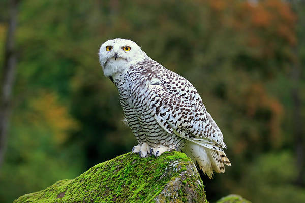 Wall Art - Photograph - Snowy Owl Nyctea Scandiaca Adult Sitting On Rock Captive Germany by imageBROKER - Juergen  Christine Sohns