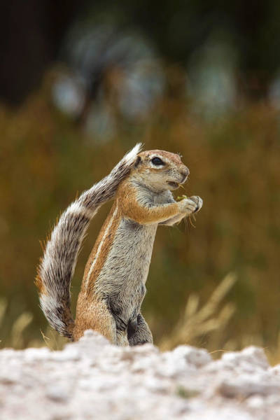 Wall Art - Photograph - South African Ground Squirrel by David Hosking