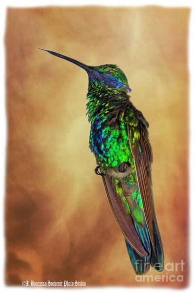 Wall Art - Photograph - Sparkling Violetear Hummingbird by Al Bourassa