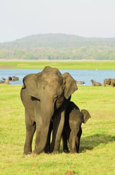 Safari Animal Photograph - Sri Lankan Elephant Elephas Maximus by Jochen Schlenker / Robertharding