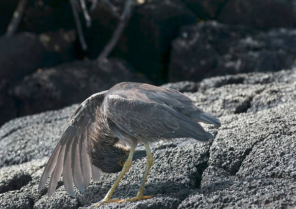 Photograph - Striated Heron by Michael Lustbader