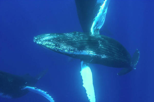 Wall Art - Photograph - Sub-adult Humpback Whales,central by Stuart Westmorland