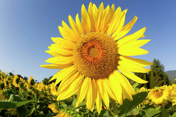 Wall Art - Photograph - Sunflower Fields In Tuscany,italy by Chris Cole