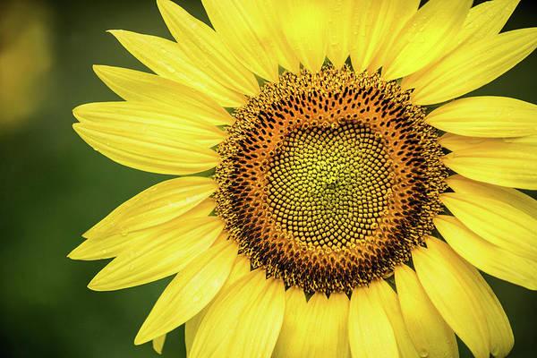 Photograph - Sunflower Macro by Don Johnson