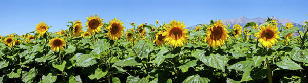 Wall Art - Photograph - Sunflowers Helianthus Annuus by Panoramic Images