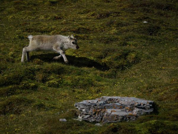 Photograph - Svalbard Reindeer by Kai Mueller