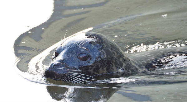 Photograph - Swimming Seal by Eye to Eye Xperience