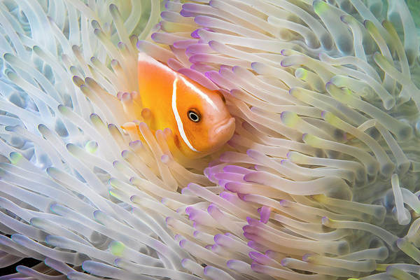 Wall Art - Photograph - This Common Anemonefish  Amphiprion by Dave Fleetham