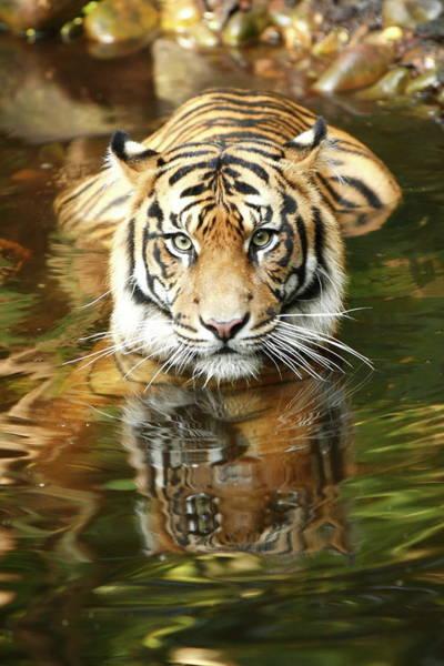 Mammal Photograph - Tiger by Craigrjd