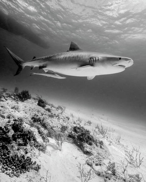Wall Art - Photograph - Tiger Shark Swimming Over Reef, Tiger by Brent Barnes