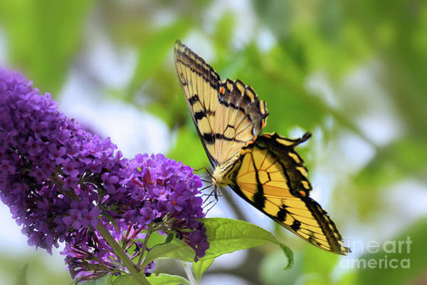 Wall Art - Photograph - Tiger Swallowtail by Elaine Manley