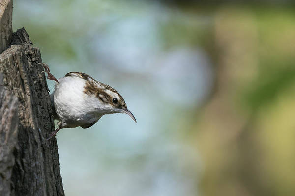 Photograph - Treecreeper by Wendy Cooper