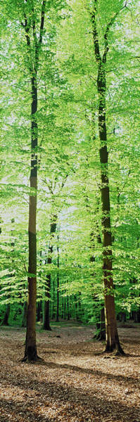 Wall Art - Photograph - Trees In A Forest, Germany by Panoramic Images