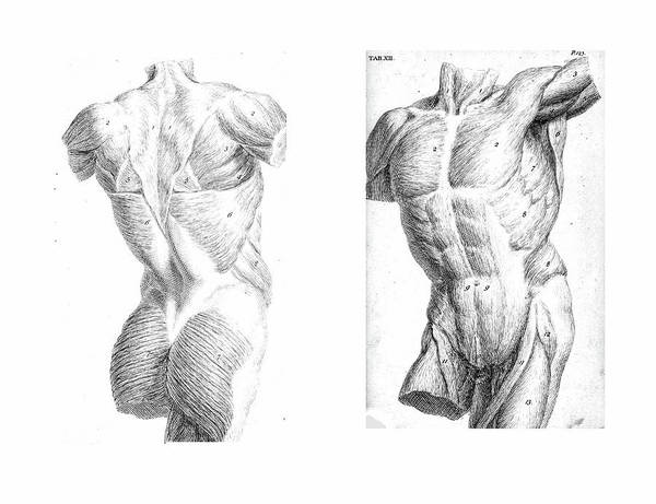 Photograph - 2 Views Of The Human Torso, Muscles And Internal Organs  by Steve Estvanik