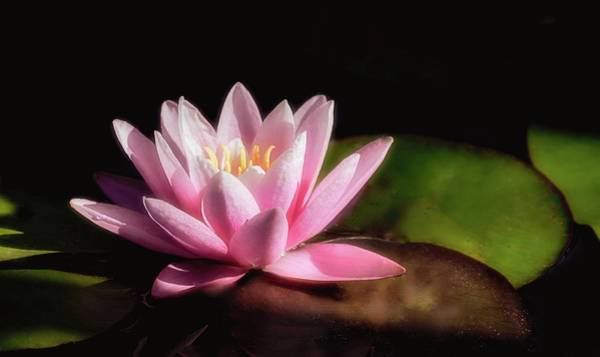 Photograph - Water Lily In Pink by Julie Palencia