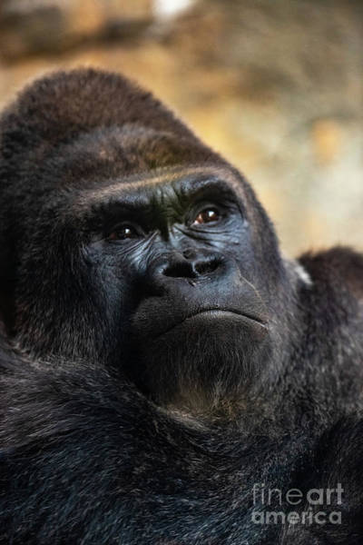 Photograph - Western Male Gorilla Sitting, Gorilla Gorilla Gorilla, In A Zoo. by Joaquin Corbalan