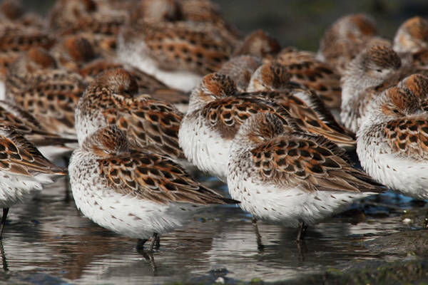 Wall Art - Photograph - Western Sandpipers Resting by Ken Archer