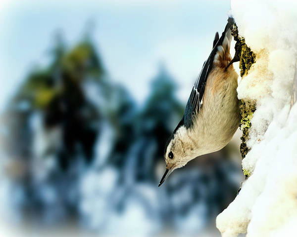 Photograph - White Breasted Nuthatch In The Snow by Bob Orsillo
