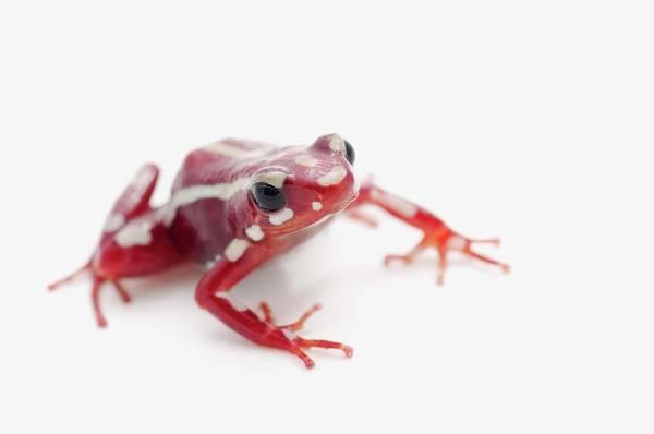 Horizontal Stripes Photograph - White-striped Poison Dart Frog by Design Pics / Corey Hochachka