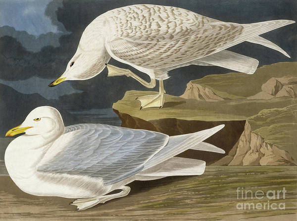 Wall Art - Painting - White Winged Silvery Gull by John James Audubon