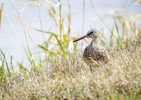 Photograph - Willet by Michael Chatt