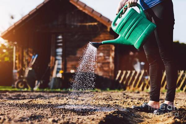 Wall Art - Photograph - Woman Watering Garden. Cultivating Organic Vegetables by Michal Bednarek