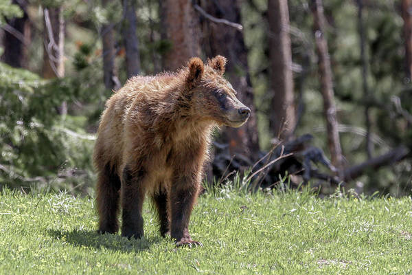 Photograph - 2 Year Old Griz by Ronnie and Frances Howard