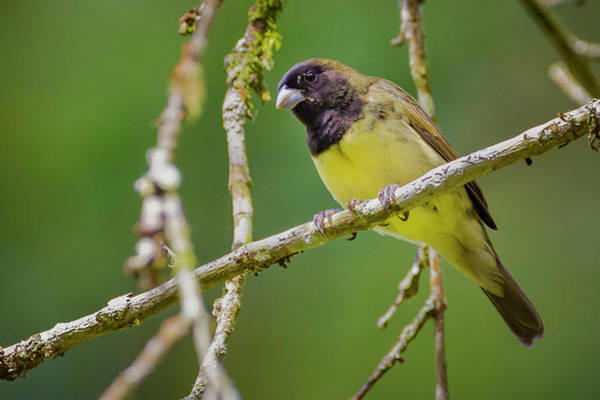 Photograph - Yellow-bellied Seedeater San Jorge Ibague Colombia by Adam Rainoff