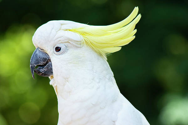 Photograph - Yellow Crested Cockatoo by Rob D Imagery