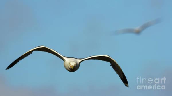 Photograph - Yellow-legged Gull Flying by Pablo Avanzini