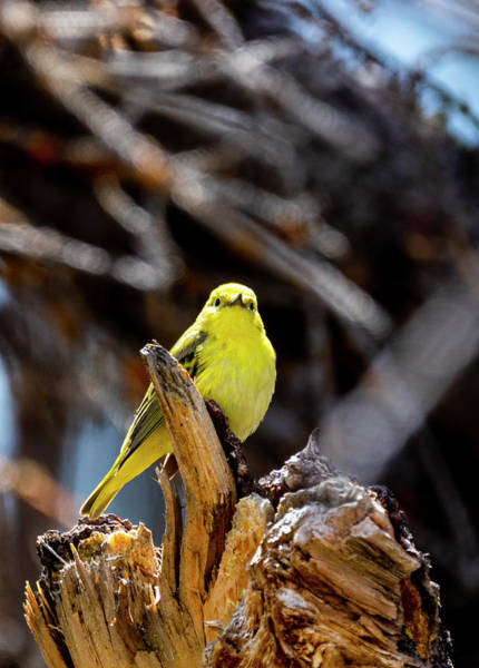 Photograph - Yellow Warbler by Michael Chatt