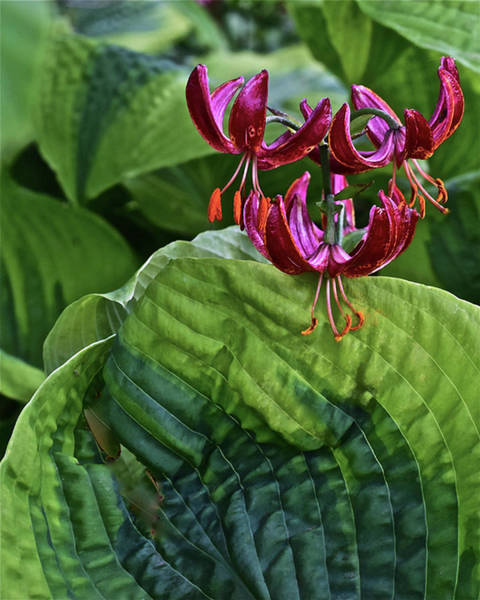 Photograph - 2019 June At The Gardens Lily And Hosta by Janis Nussbaum Senungetuk