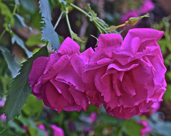 Photograph - 2019 June At The Gardens Shrub Roses by Janis Nussbaum Senungetuk