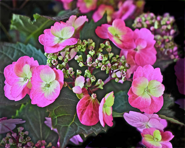 Photograph - 2019 June At The Gardens Tuff Stuff Hydrangea by Janis Nussbaum Senungetuk