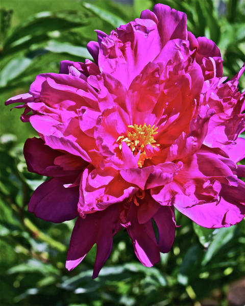 Photograph - 2019 June Neighborhood Flowers Peony by Janis Nussbaum Senungetuk