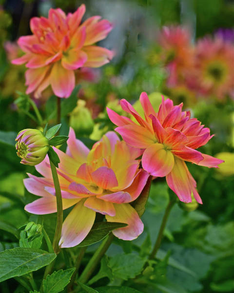 Photograph - 2019 Monona Farmer's Market May Dahlias 1 by Janis Nussbaum Senungetuk