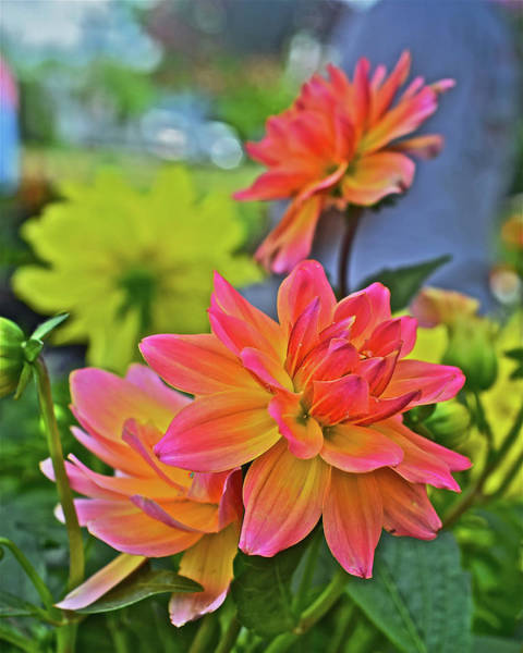 Photograph - 2019 Monona Farmer's Market May Dahlias 2 by Janis Nussbaum Senungetuk