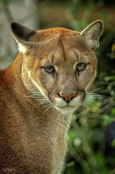 Photograph - Puma by David Pine