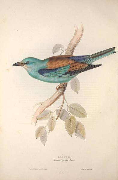Wall Art - Painting - Different Types Of Birds Illustrated By Charles Dessalines D Orbigny 1806-1876 21 by Celestial Images