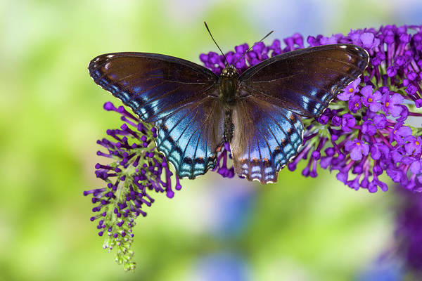 Butterfly Bush Wall Art - Photograph - Red-spotted Purple Butterfly, Limenitis by Darrell Gulin