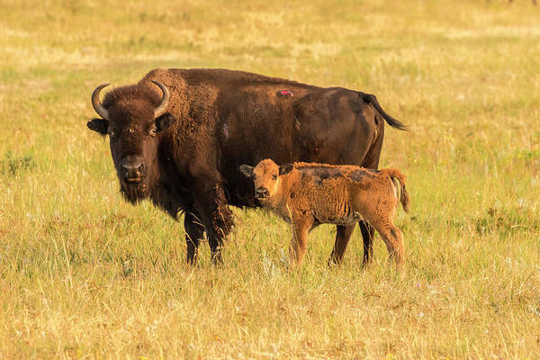 Cow And Calf Wall Art - Photograph - Usa, South Dakota, Custer State Park by Jaynes Gallery